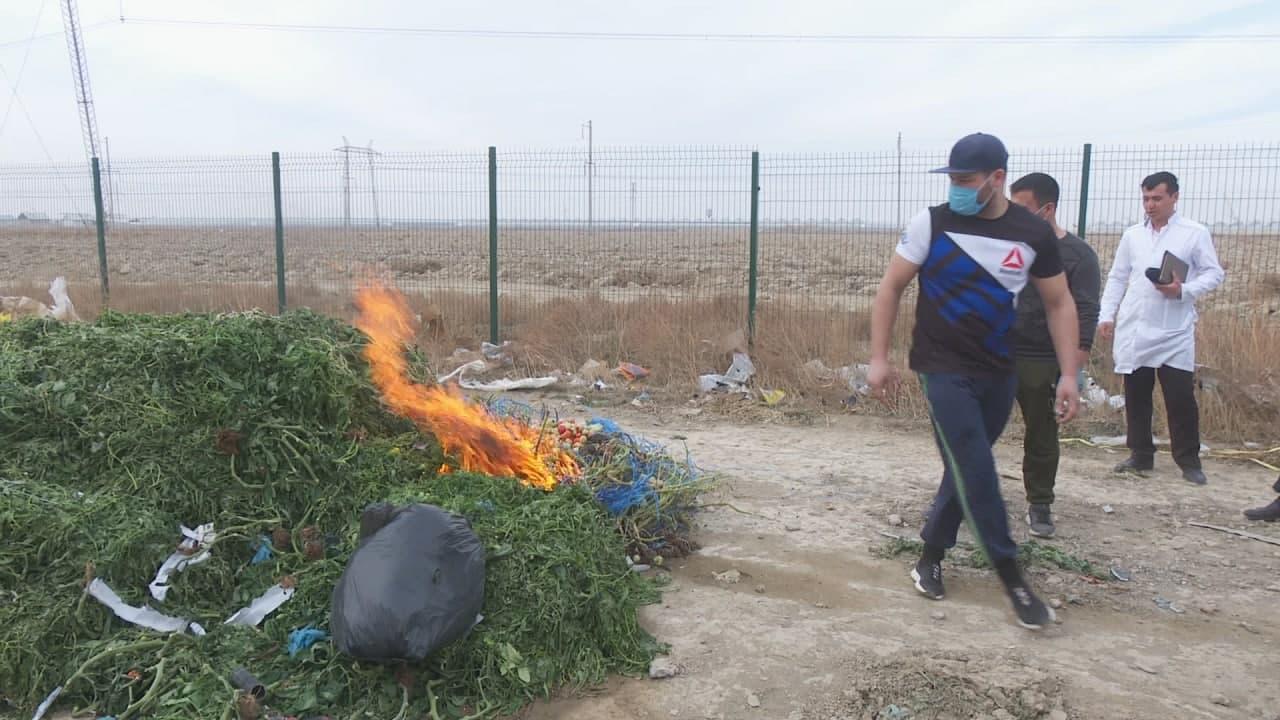 После регистрации томатного вируса в Сырдарье сожгли 2,5 га земли