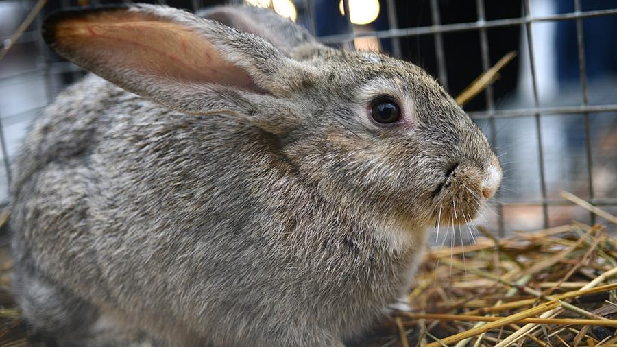 Эксперты ВОЗ изучают возможность заражения коронавирусом от барсуков и кроликов