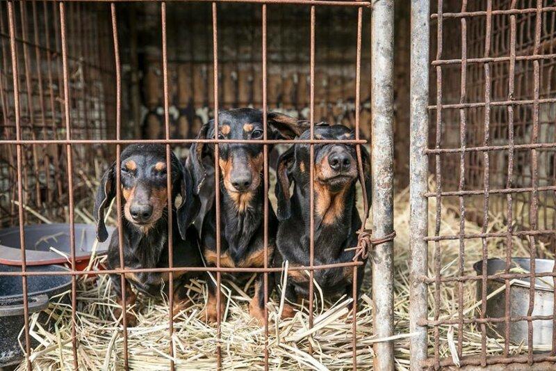 На свиноферме в Ташобласти массово убивают собак для продажи их мяса