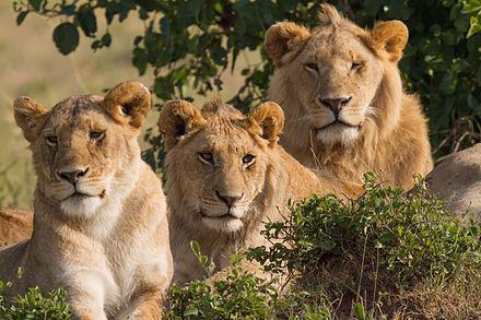 В заповеднике на западе Уганды браконьерыубили шесть львов