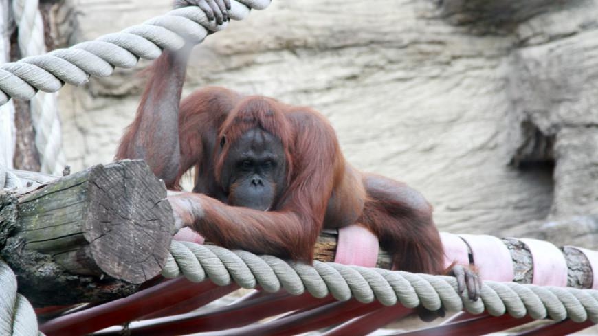 Вакцину от COVID-19 для животных протестировали на обезьянах из американского зоопарка