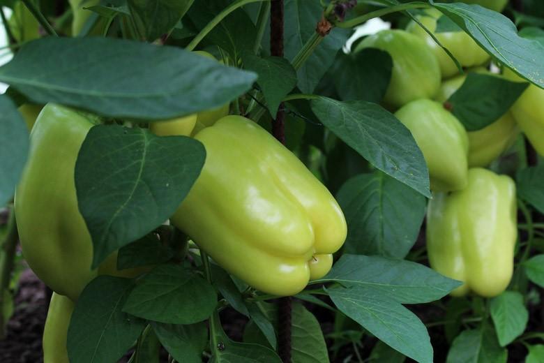 Узбекистан в прошлом году экспортировал болгарский перец на 8,9 миллионов долларов