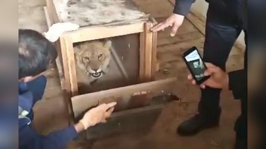 Найденного в Самарканде львенка передали в Ташкентский зоопарк – видео