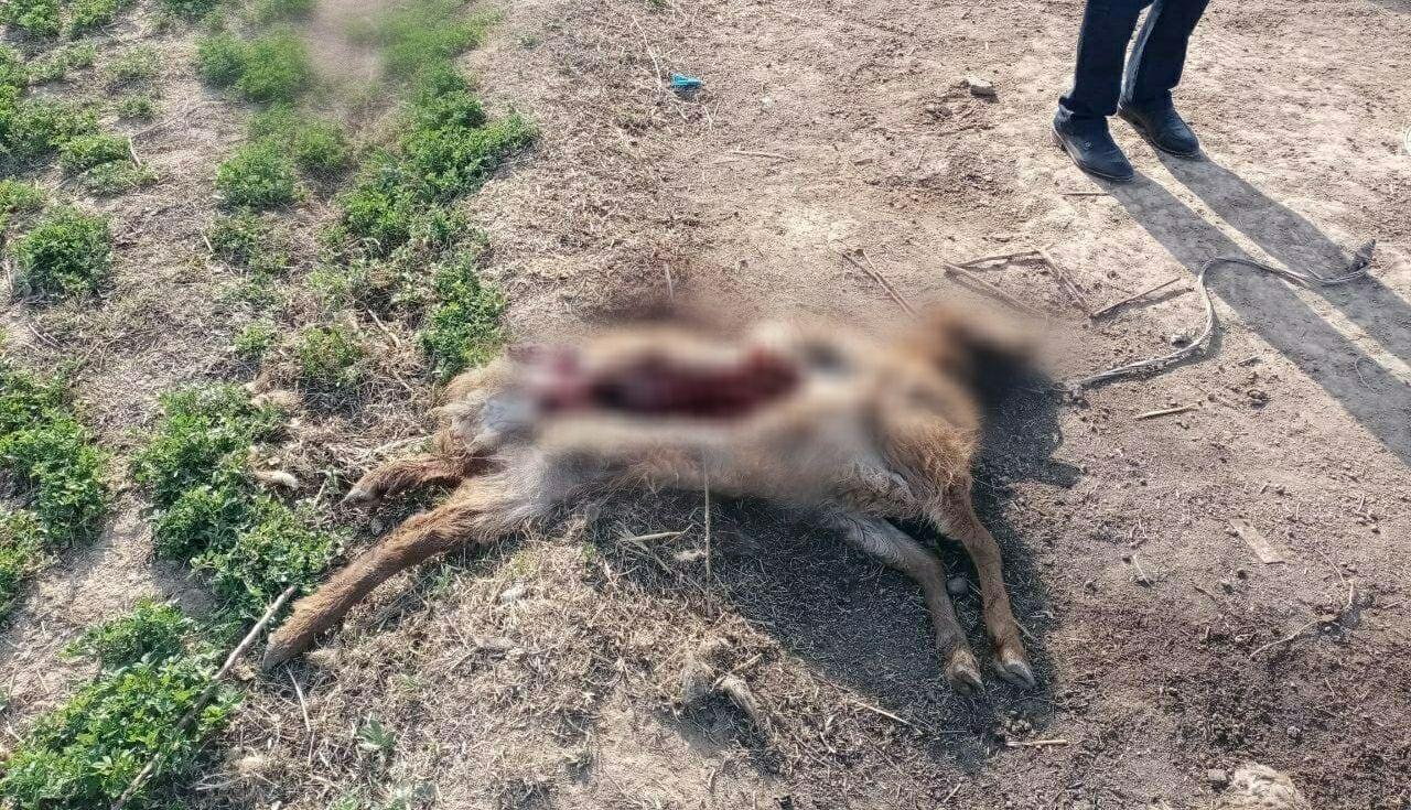 В Кашкадарьинской области обнаружили «чупакабру» — видео