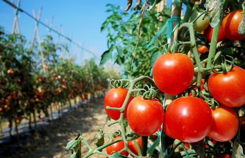 Шести узбекским предприятиям разрешен ввоз томатов на территорию России