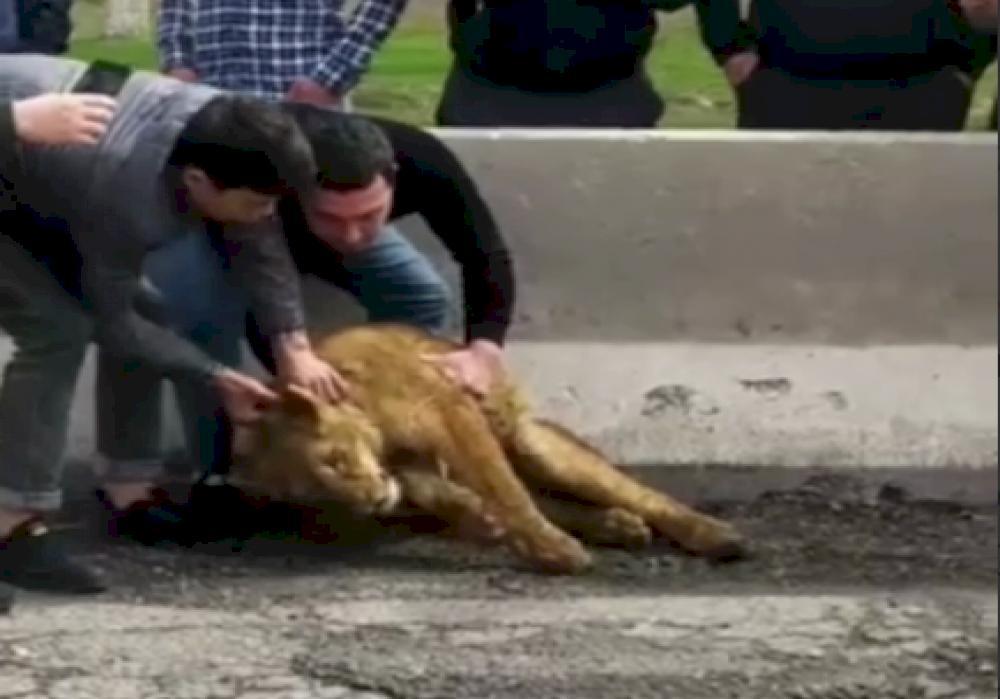 На дорогах Самарканда обнаружили львенка — видео