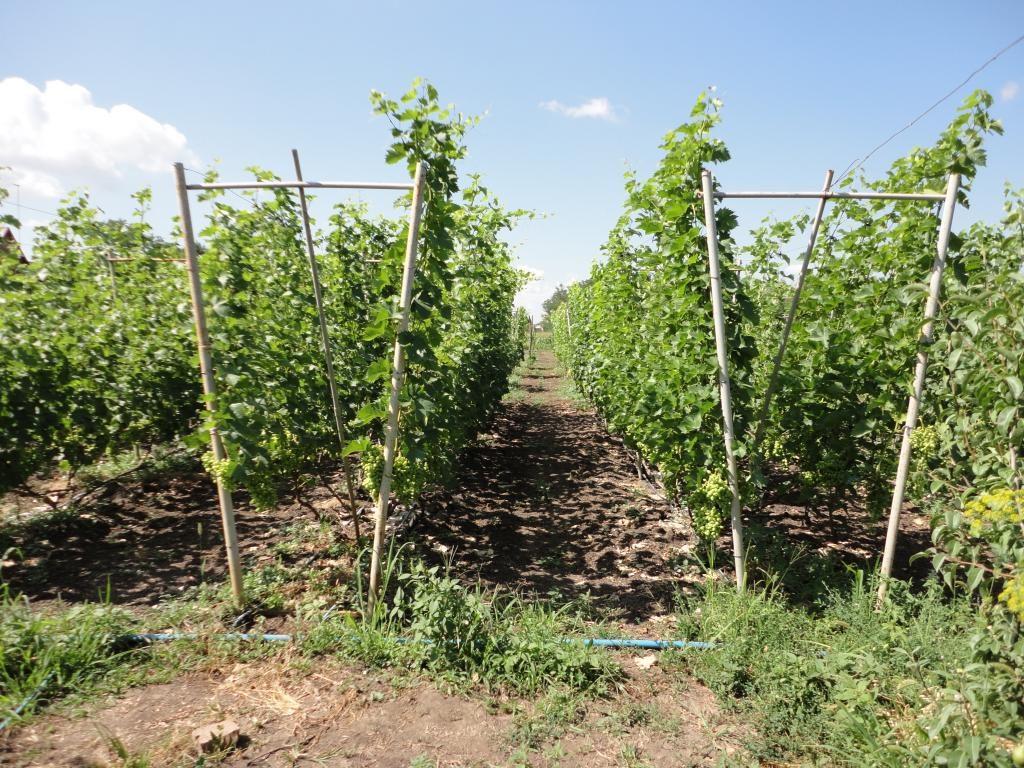 Узбекистан выделит около 70 миллиардов сумов на развитие виноградарства