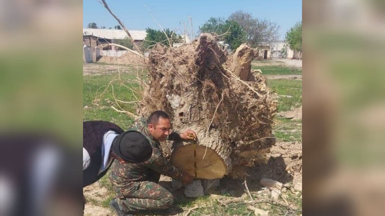 В Кашкадарьинской области незаконно вырубили 47 многолетних деревьев