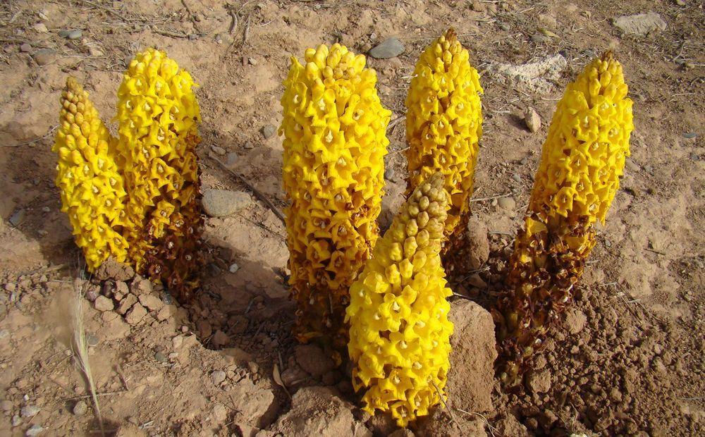 В Каракалпакстане мужчина собрал корни редкого растения и нанес ущерб экологии в 16 миллионов сумов